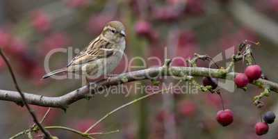 Sparrow in Malus Red Sentinel