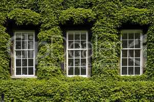 Ivy covered walls typically found i