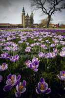 Crocus flowers in the lawn in front