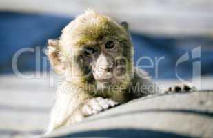 Young Gibraltar Ape