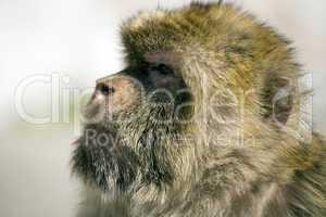 Gibraltar ape portrait