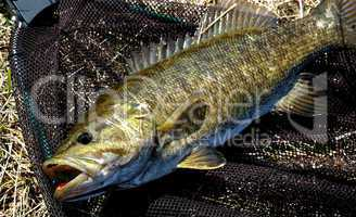 Smallmouth Bass, Fisherman's Net
