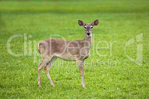 Deer white tail yearling grass