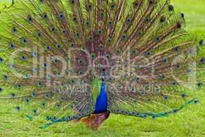 Peacock showing