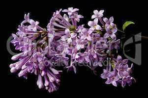 Hungarian Lilac