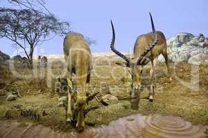 Female and male Impala drinking at