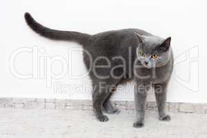 British Shorthair Cat, blue