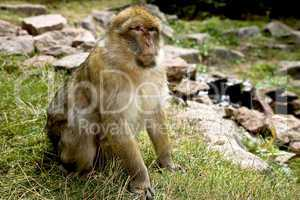 Sitting Barbary Macaque monkey