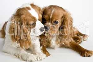 Two Cavalier King Charles Spaniel d