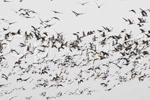 Sandhill Crane spring migration