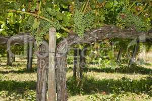 Vigorous vine in Umbria Italy