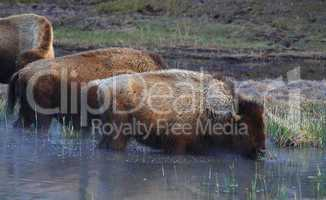BISONS GRAZING IN WATER