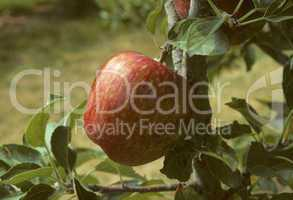 Red delicious apple on a tree