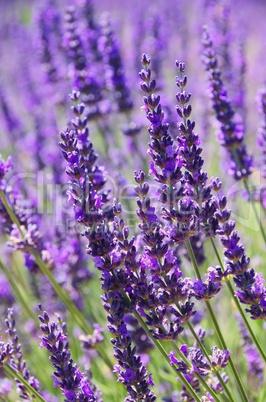 Lavendel - lavender 103