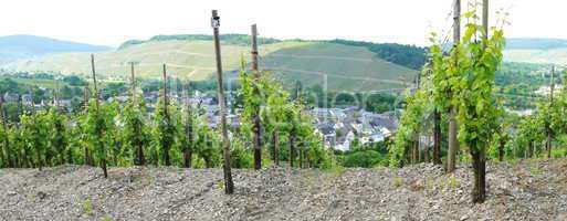 Weinberg bei Mülheim an der Mosel