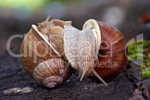 snails like a wrestlers