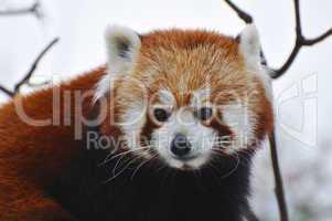Kleiner Panda, Red Panda