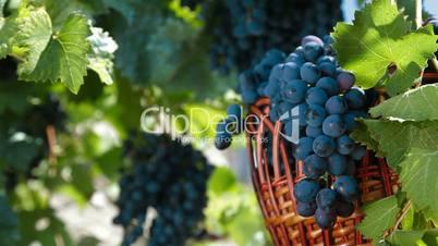 Fresh Dark Blue Grapes In Wicker Basket