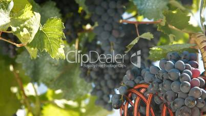 Fresh Dark Blue Grapes In Wicker Basket