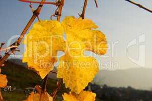 gelbes Weinblatt