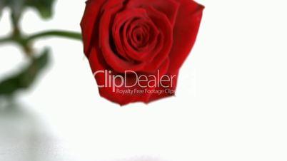 Red rose falling