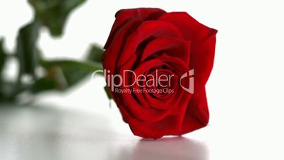Red rose falling and boucing