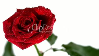 Dew drops falling from red rose