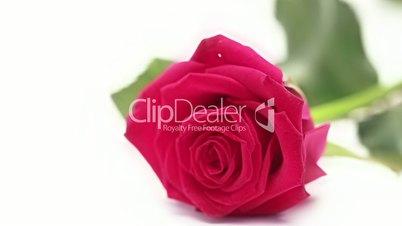 Pink rose lying on white background