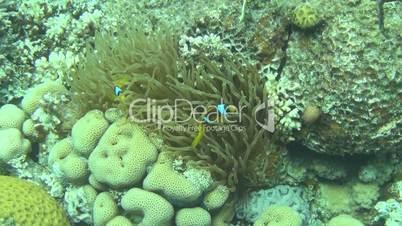 Rotmeer-Anemonenfisch 05