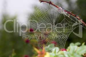 Spinnennetz mit Morgentau an einer Hundsrose (Rosa Canina)