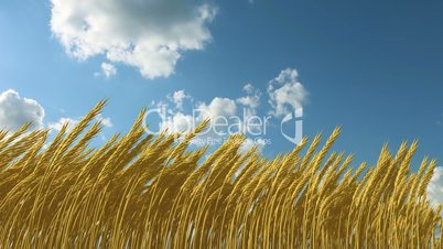 growing wheat against the sky
