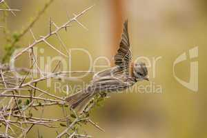 Rufous-collared Sparrow Flying
