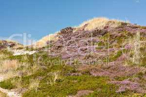 Dünen mit blühender Besenheide und Krähenbeere auf Sylt