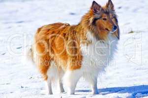 Collie im Schnee