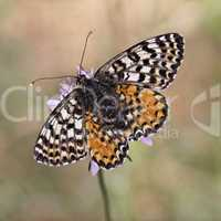 Melitaea didyma meridionalis, Spotted Fritillary or Red-band Fritillary (female)