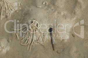 Lugworm or sandworm, Arenicola marina