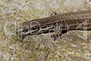 Lacerta vivipara, Viviparous lizard or Common lizard