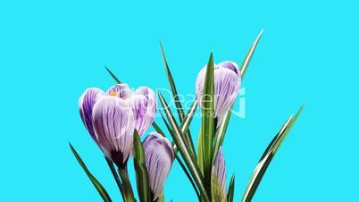 Growth of violet crocuses flower buds ALPHA matte (Crocus King of tne Striped) (Time Lapse)