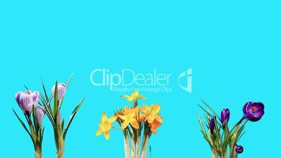 Growth of crocuses flower buds ALPHA matte (Crocus) (Time Lapse)