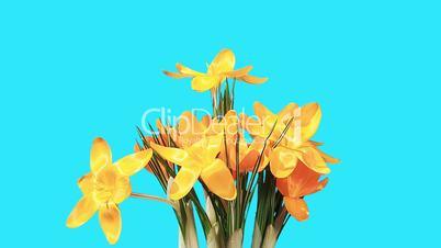 Growth of yellow crocuses flower buds ALPHA matte (Crocus Grand Yellow) (Time Lapse)