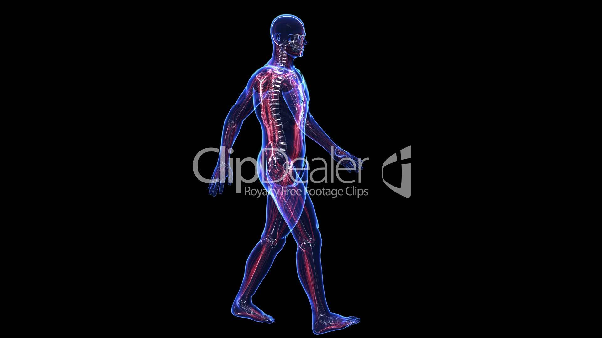 Anatomy Of The Human Body Skin Skeleton And Muscules Lizenzfreie