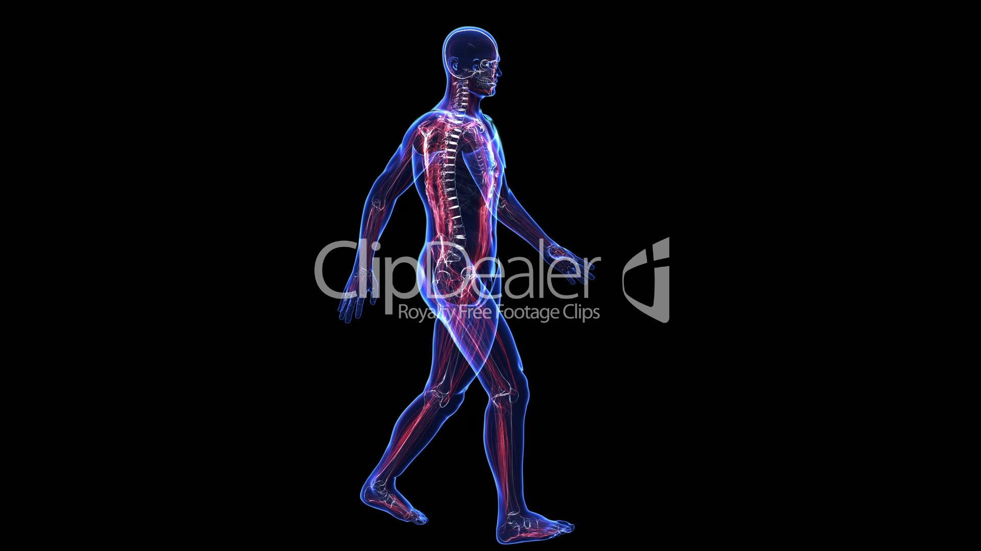 Anatomy Of The Human Body Skin Skeleton And Muscules Royalty Free