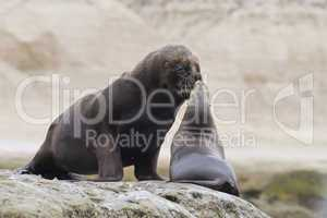 Couple of South American Sea Lions