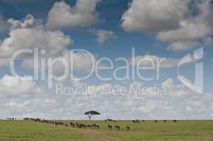 Wildebeests in the Savannah