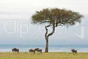 Wildebeests in the Savannah