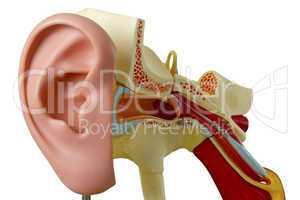 Modell vom Gehörgang