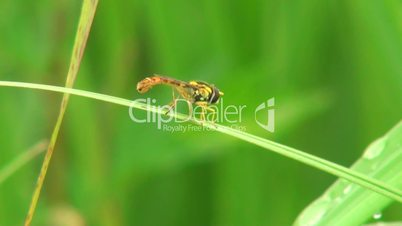 small wasp sitting on a blade of grass