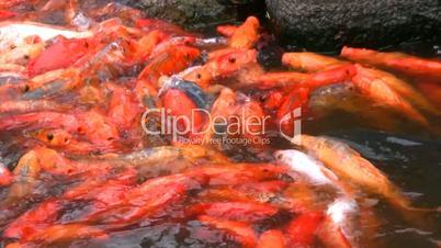 Hungry orange fish
