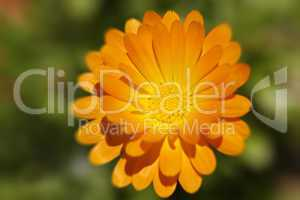 Blüten Nahaufnahme - Orange