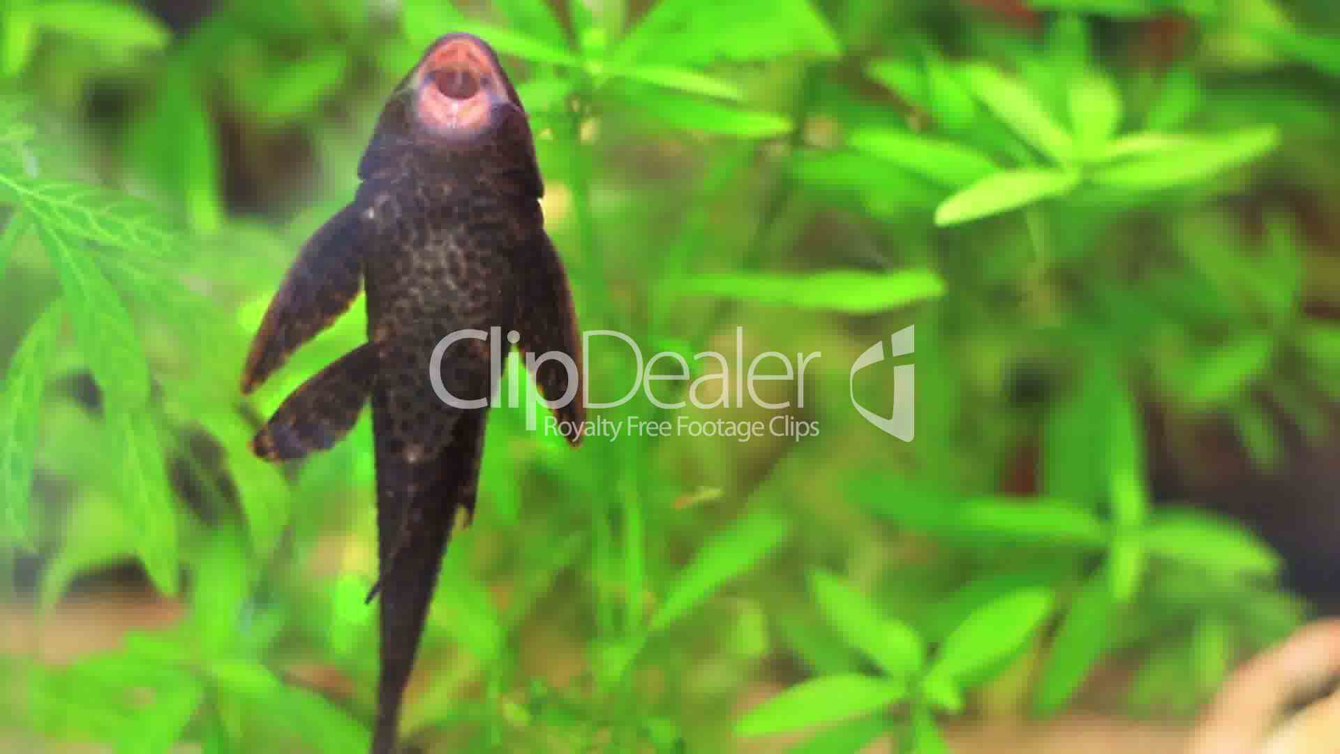 Aquarium Fish Plecostomus Royalty Free Video And Stock Footage